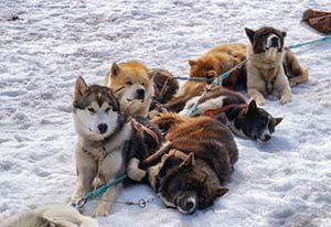 Schlittenhunde - manche sind schon neugierig und manche liegen noch faul im Schnee