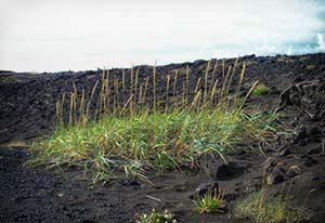 Mitten im Lavagestein und Lavasand wachsen die Gräser recht spärlich...