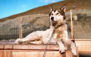 Husky im Base Camp