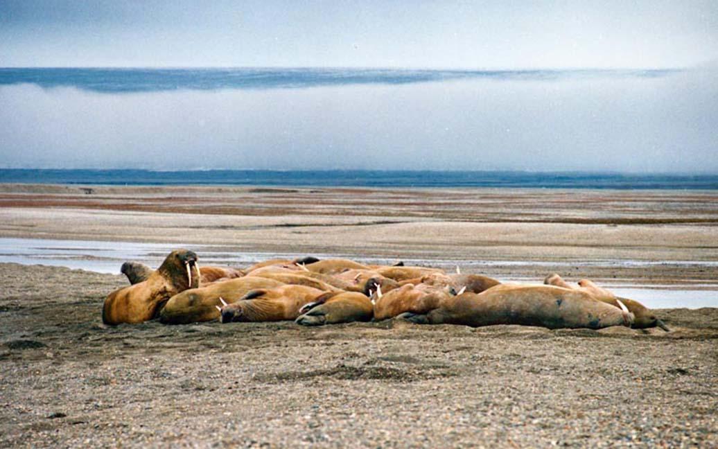 Augustabukta – Walrosse und ein kalbender Gletscher