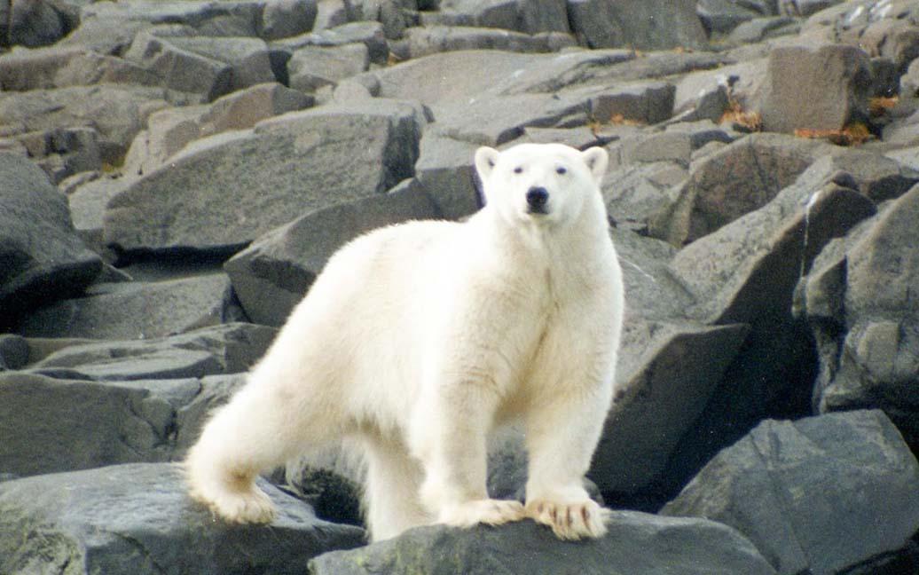 Ziegleroya - Nur 15 Meter von einem Eisbär entfernt